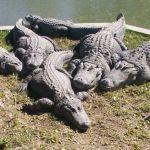 hamat_gader_crocodile